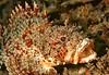 California Scorpionfish<br /> Scorpaena guttata