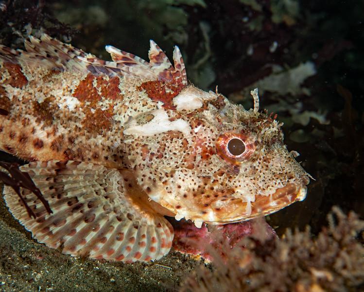 California scorpionfish, Scorpaena guttata<br /> Torrance Reef, Los Angeles County, California