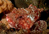 California Scorpionfish<br /> Scorpaena guttata<br /> African Queen wreck, Long Beach, California