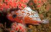 Rosy Rockfish Juvenile<br /> Sebastes rosaceus<br /> Old Marineland, Palos Verdes, California