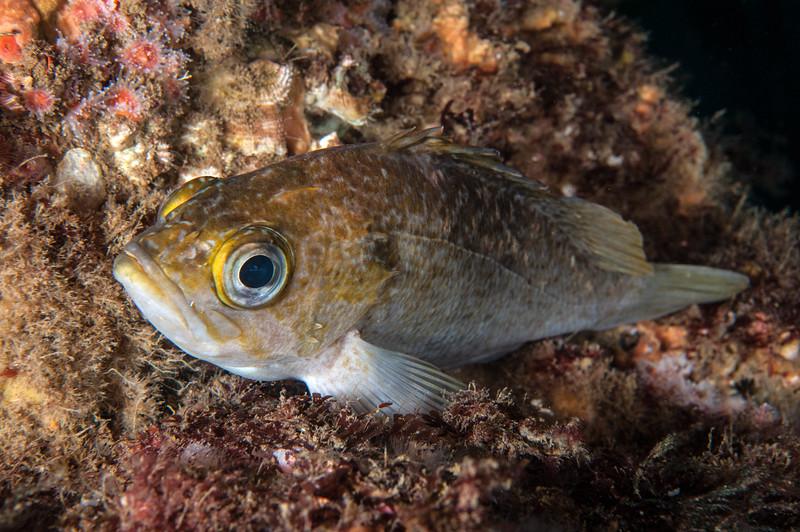 Kelp Rockfish, Sebastes atrovirens<br /> Point Vicente Pinnacles, Palos Verdes, California