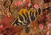 Treefish<br /> Sebastes serriceps