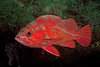 Vermilion Rockfish<br /> Sebastes miniatus<br /> Buchanan's Reef, Palos Verdes, California