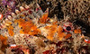 California Scorpion Fish<br /> Kevin's Reef, Palos Verdes California
