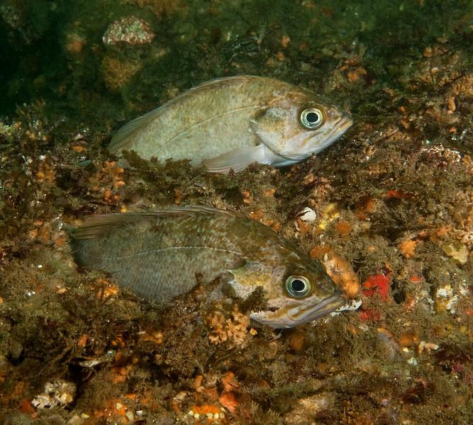 Kelp Rockfish - Two color forms<br /> Sebastes atrovirens<br /> Comment thanks to Milton Love
