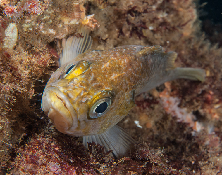 Kelp Rockfish, Sebastes atrovirens<br /> Point Vicente Pinnacles, Palos Verdes, California