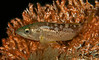 Olive Rockfish (?)<br /> Sebastes serranoides<br /> Old Marineland, Palos Verdes, California