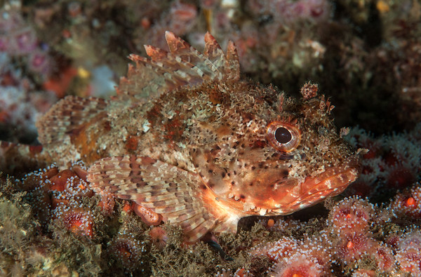 California scorpionfish, Scorpaena guttata Kevin's Reef, Palos Verdes, California