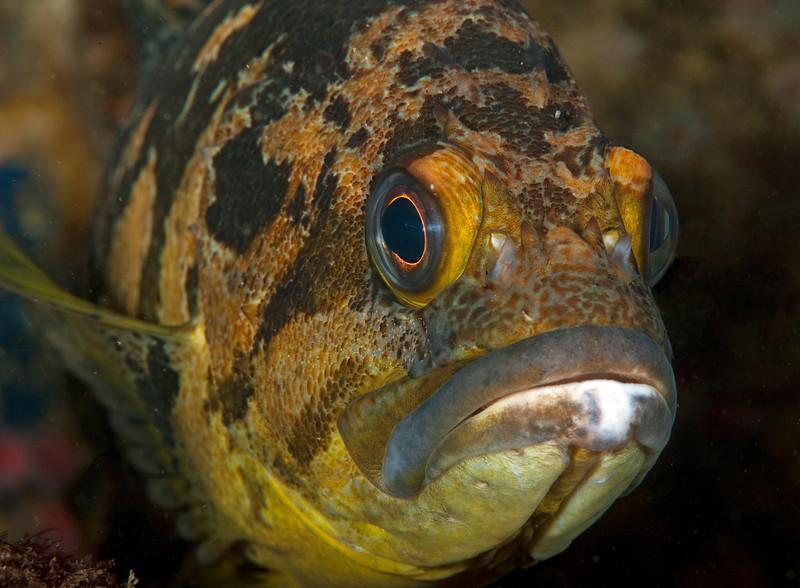 Black-and- Yellow Rockfish<br /> Sebastes chrysomelas