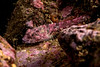 Coralline sculpin, Artedius corallinus<br /> White Point Pipe, San Pedro, Los Angeles County, California