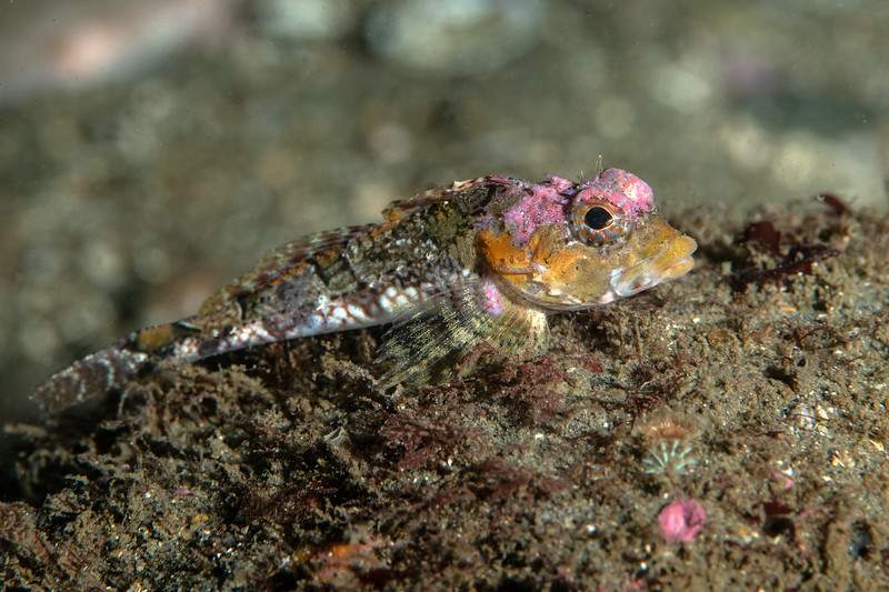 Pithead sculpin, Icelinus cavifrons<br /> ID thanks to Clinton Bauder and Greg Jensen<br /> Golf Ball Reef, Palos Verdes, Los Angeles County, California