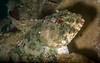 Cabezon, Scorpaenichthys marmoratus<br /> Hyperion 1-mile elevated outfall pipe, El Segundo, California