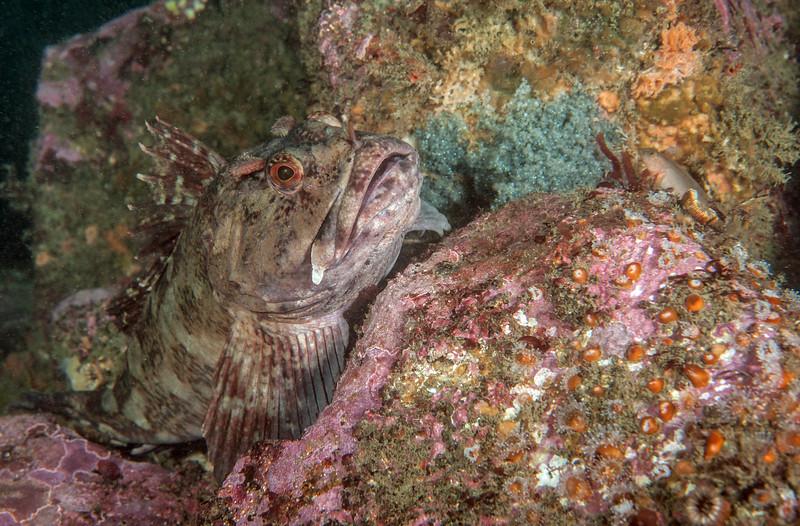 Cabezon, Scorpaenichthys marmoratus<br /> White Point Pipe, San Pedro, California