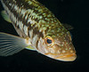 Kelp Bass, aka Calico Bass<br /> Paralabrax clathratus
