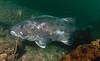 Spotting GSB HERART025<br /> Grant<br /> GSB 84-1<br /> Fishbowl, Hermosa Artificial Reef, Los Angeles County, California