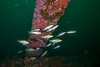 Calico bass at the overhang.<br /> Spongehenge, Hermosa Artificial Reef, Los Angeles County, California