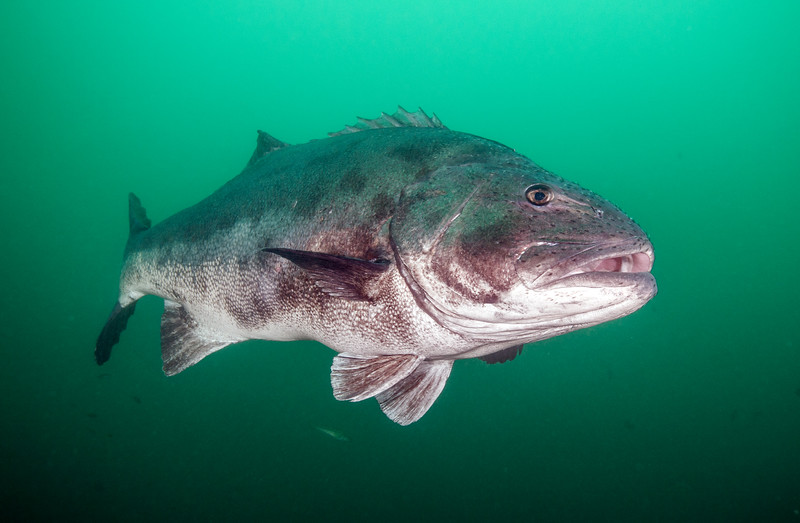 Giant Sea Bass<br /> Stereolepis gigas is a protected species in California<br /> Hermosa Artificial Reef, California