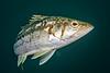 Kelp bass, Paralabrax clathratus<br /> Biodome (Reef), Palos Verdes, California