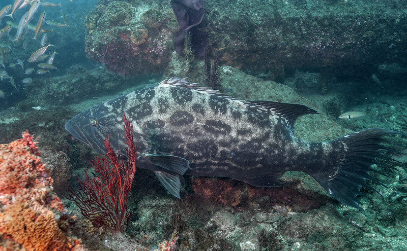 Broomtail Grouper - Protected species in California<br /> Mycteroperca xenarcha<br /> Hermosa Artificial Reef, Hermosa Beach, California