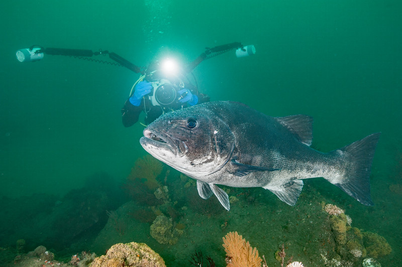 Phil Garner photographs a giant sea bass.<br /> Stereolepis gigas is a protected species in California<br /> Hermosa Artificial Reef, California