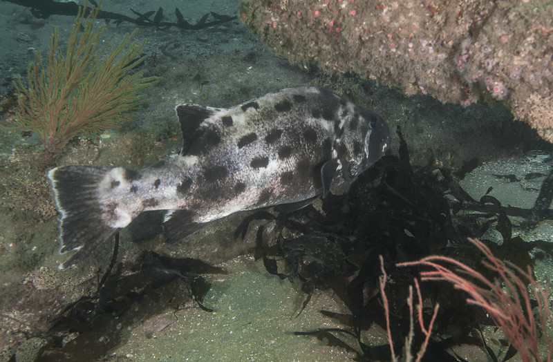 Giant Sea Bass  - Young<br /> Stereolepis gigas is a protected species in California<br /> Hermosa Artificial Reef, California