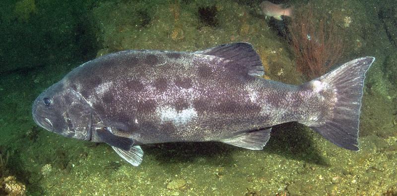 Spotting GSB HERART025<br /> Grant<br /> GSB 084-3<br /> Fishbowl, Hermosa Artificial Reef, Los Angeles County, California