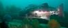 Spotting GSB HERART024<br /> Buchanan<br /> GSB 083-2<br /> Fishbowl, Hermosa Artificial Reef, Los Angeles County, California