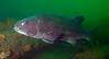Spotting GSB HERART008<br /> Nostradamus<br /> GSB 063a<br /> Fishbowl, Hermosa Artificial Reef, Los Angeles County, California