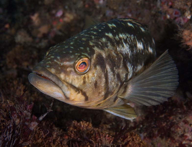 Calico bass, aka kelp bass, Paralabrax clathratus<br /> Halfway Reef, Palos Verdes, California