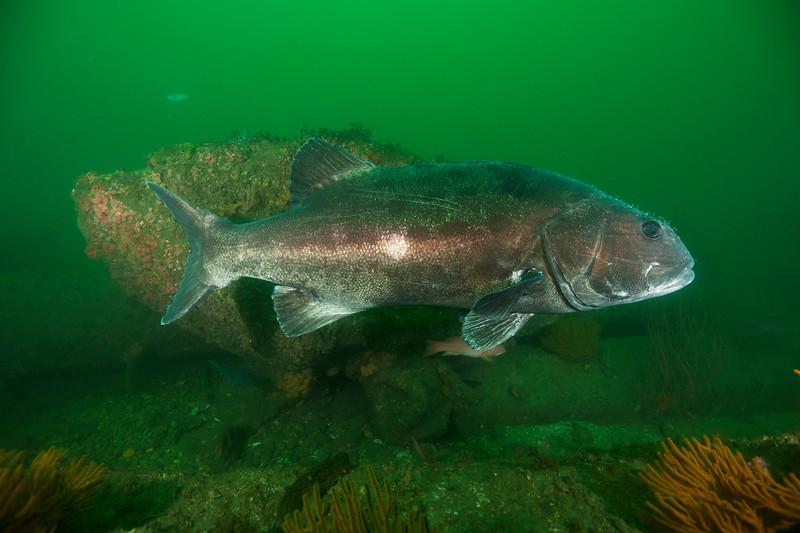 Spotting GSB HERART016<br /> Mellie<br /> GSB 063f<br /> Fishbowl, Hermosa Artificial Reef, Los Angeles County, California
