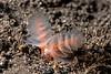 California phoronid, Phoronopsis californica<br /> Willow Cove, Catalina Island, Los Angeles County, California
