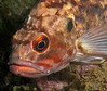 Brown Rockfish<br /> Sebastes auriculatus