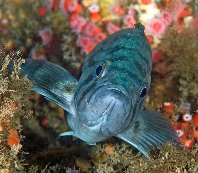 Blue Rockfish<br /> Sebastes mystinus