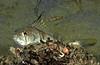 Barred Sand Bass Juvenile<br /> Paralabrax nebulifer