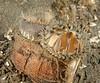 Pacific Gaper Clam- Tresus nuttallii