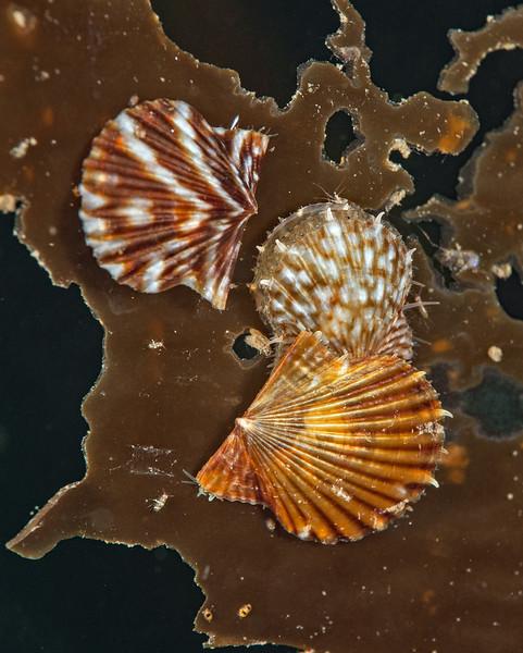 Kelp Scallop - Leptopecten latiauratus