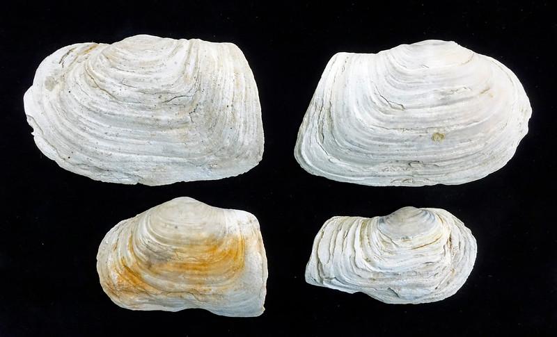Panopea generosa - Pacific Geoduck