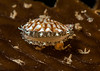 Kelp Scallop - Leptopecten latiauratus