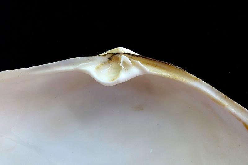 Hinge Teeth of the Pacific Gaper Clam