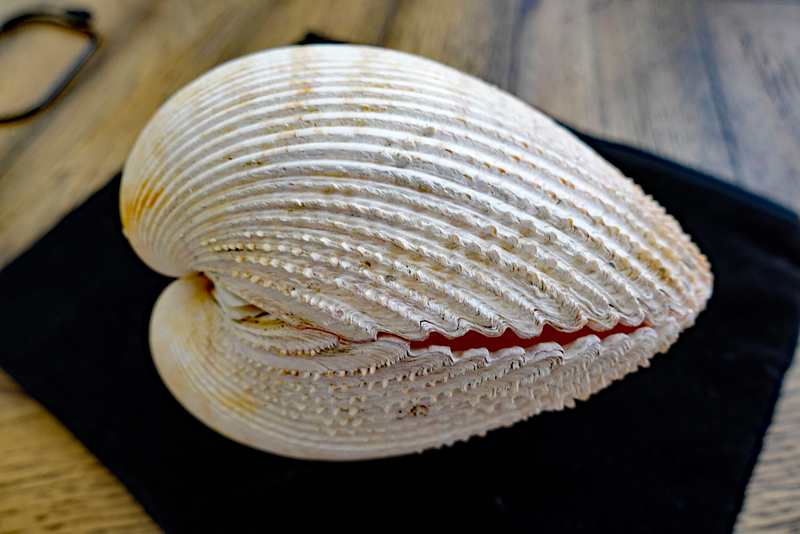 Record shell:  Dallocardia quadragenaria at 162 mm, beating the current world record of 125 mm.  <br /> <br /> Fog Wreck, Huntington Flats, San Pedro, California