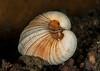 Ford's venus clam, Globivenus fordii<br /> Golf Ball Reef, Palos Verdes, California