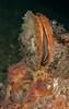 Rock scallop, Crassadoma gigantea<br /> Barge, Redondo Beach