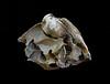 piddock clam