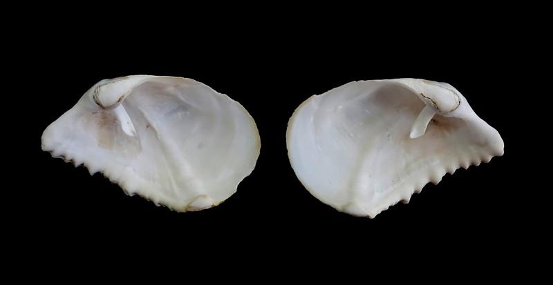 Rough Piddock - Zirfaea pilsbryii