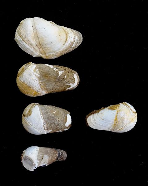 Flat-tip Piddock Clam - Penitella penita