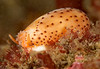 Chestnut cowry - Neobernaya spadicea