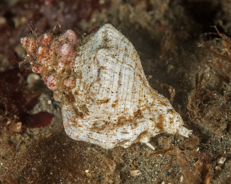 California frog shell<br /> Crossata californica, formerly Bursa californica<br /> <br /> Golf Ball Reef, Palos Verdes, California