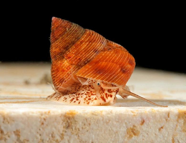 Granulose Top Snail - Calliostoma supragranosum