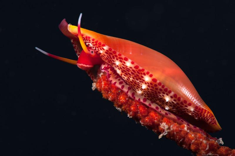 Simnia snail - Simnia arcuata