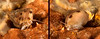 Glorious topsnail, Calliostoma gloriosum<br /> Barge, Redondo Beach, Calfornia